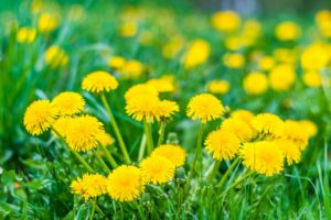 Dandelion is beneficial for both the kidneys and the liver.