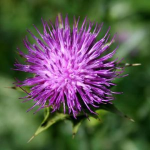 Milk thistle acts like an antioxidant, and helps in nourishing and rejuvenating dead cells.